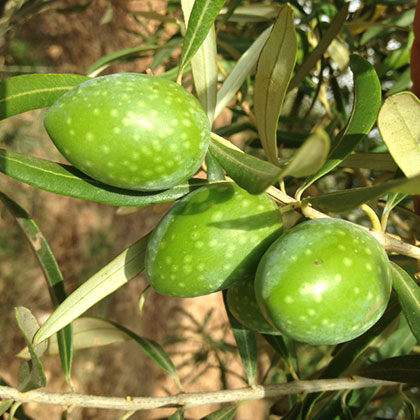 olive-a-Bellapietra-corpo